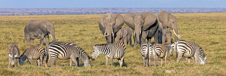 E;ephants and zebra in Amboseli