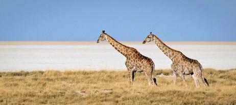 _Y5A3695 Giraffe on the Etosha NP pan we