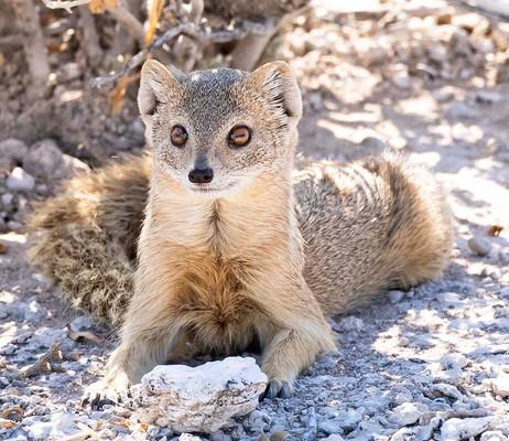 _Y5A3482 Slender Mongoose web ready.jpg