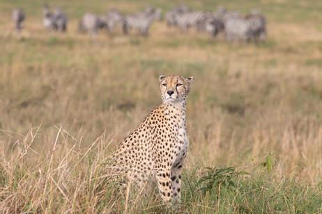 Cheetah surveying land