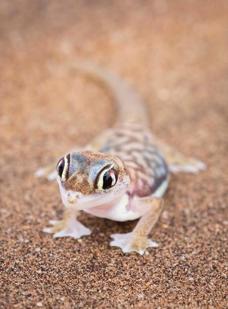 _Y5A2034 Namibian Gecko web ready.jpg