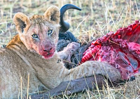 Lion cub on kill