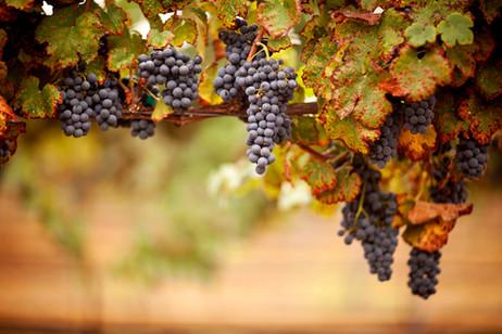 Grapes for harvest.jpg