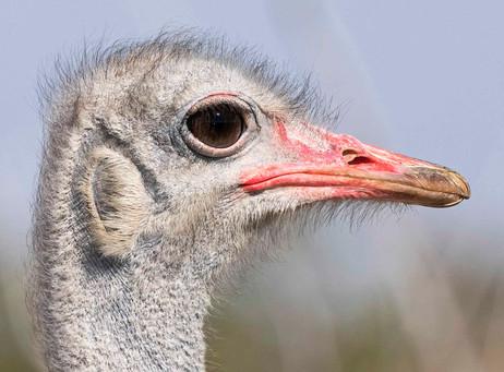 _Y5A3289 Ostrich head close up web ready