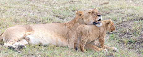 Motherly love - lion style
