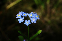 forget-me-not-316354_1280