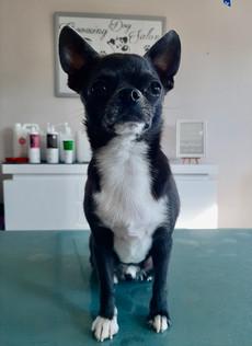 Olaf le Chihuahua