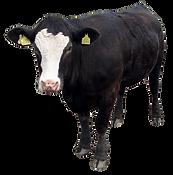 purepng.com-black-cow-standingcowtwerpbu
