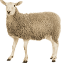 adult-sheep.png