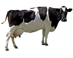 cow-png-file-cow-png-350_279.png