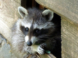 raccoon trapping service