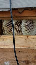 honey beehive in sub floor