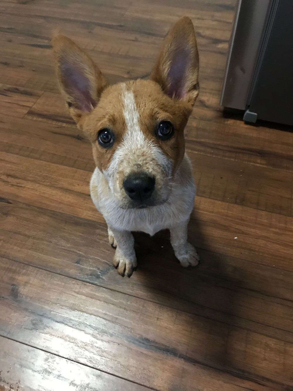 Rose the Red Heeler at The Decadent Dog