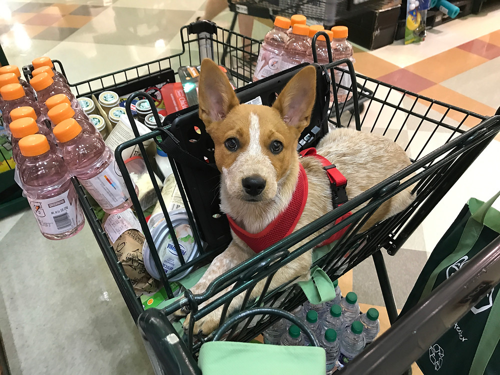 Rose the Red Heeler in the shopping cart at Harris Teeter.