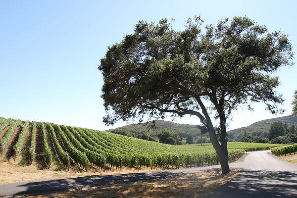 カリフォルニアのビンヤード.JPG
