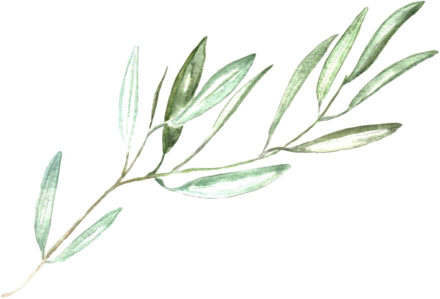 olive branch1