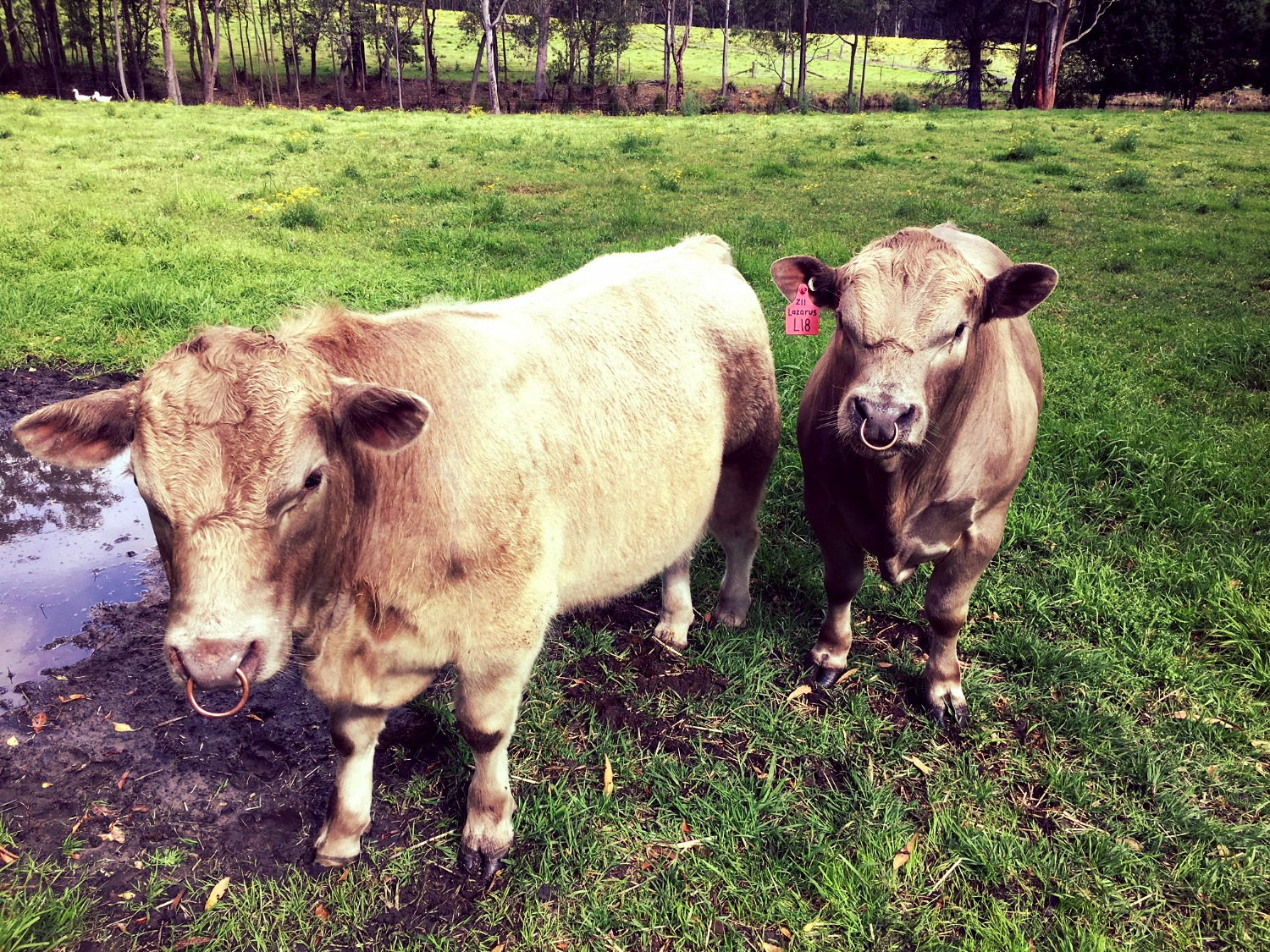 Young quality Square Meater bulls