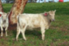 Square Meater Heifer Lotus