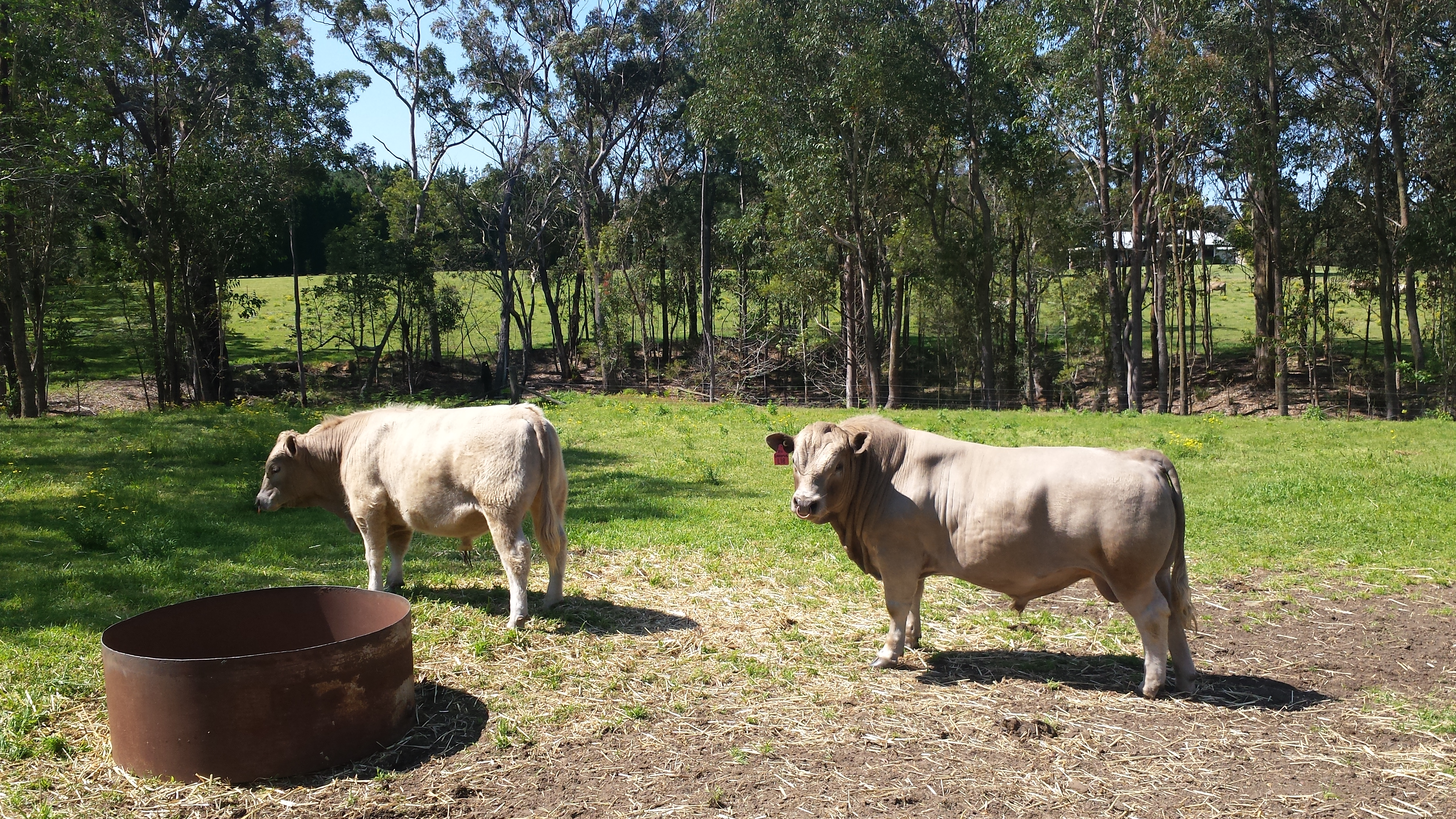 Square Meater Bull Sale!