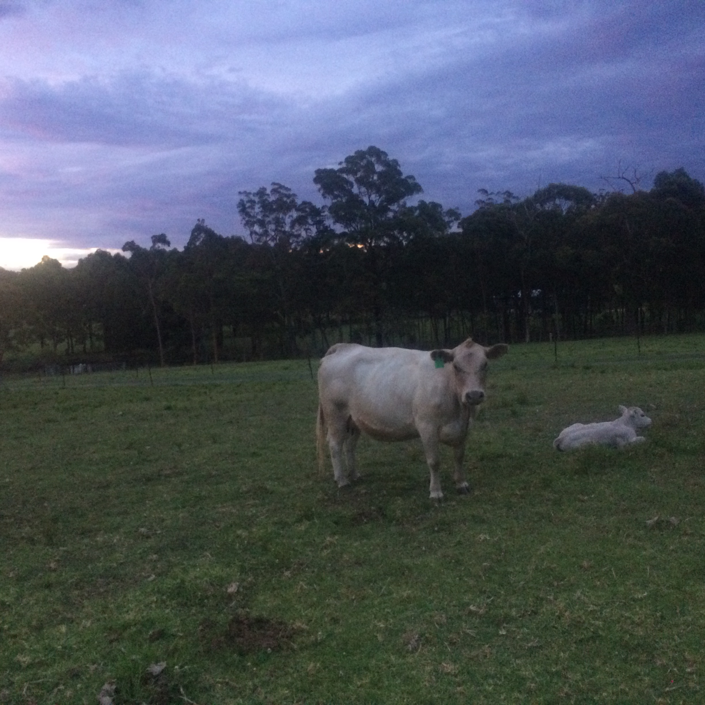 New born Silver Gully calf