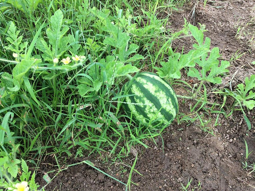 Produção de melancia