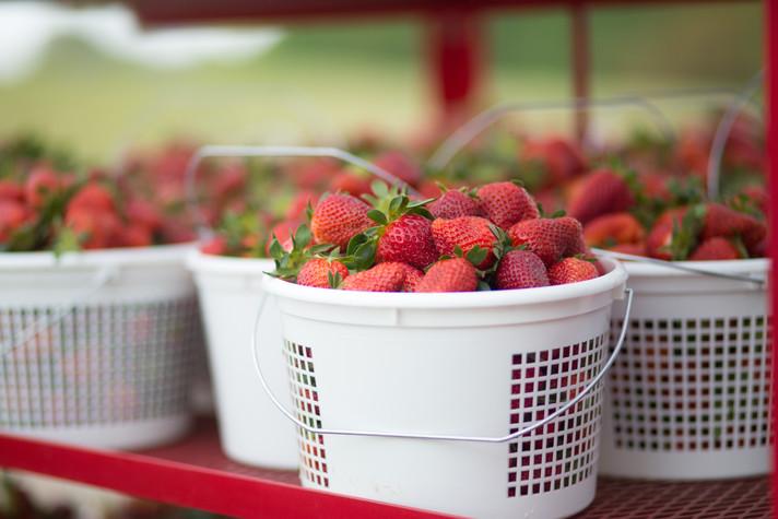 2018_April_04-Hood Strawberry Farm-0131-
