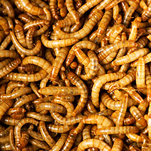 Live Meal Worms