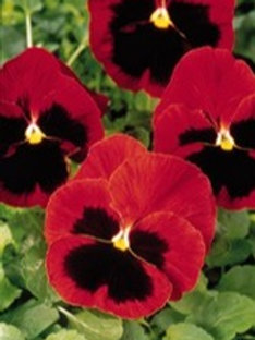 Pansy Matrix Red w/Blotch