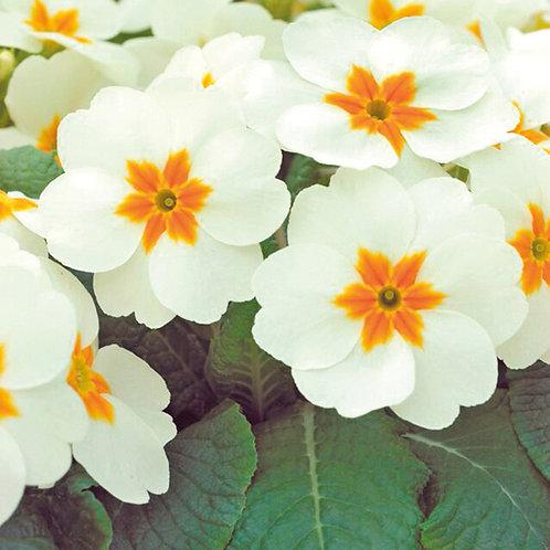 Primula Acaulis Cottage Cream