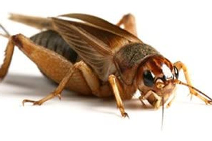 Live Silent Crickets Size 5