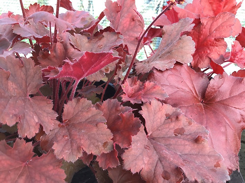 Heuchera Perennial red
