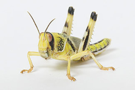 Live Locusts Size 5