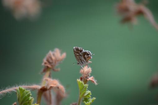 Raising Caterpillars from Home