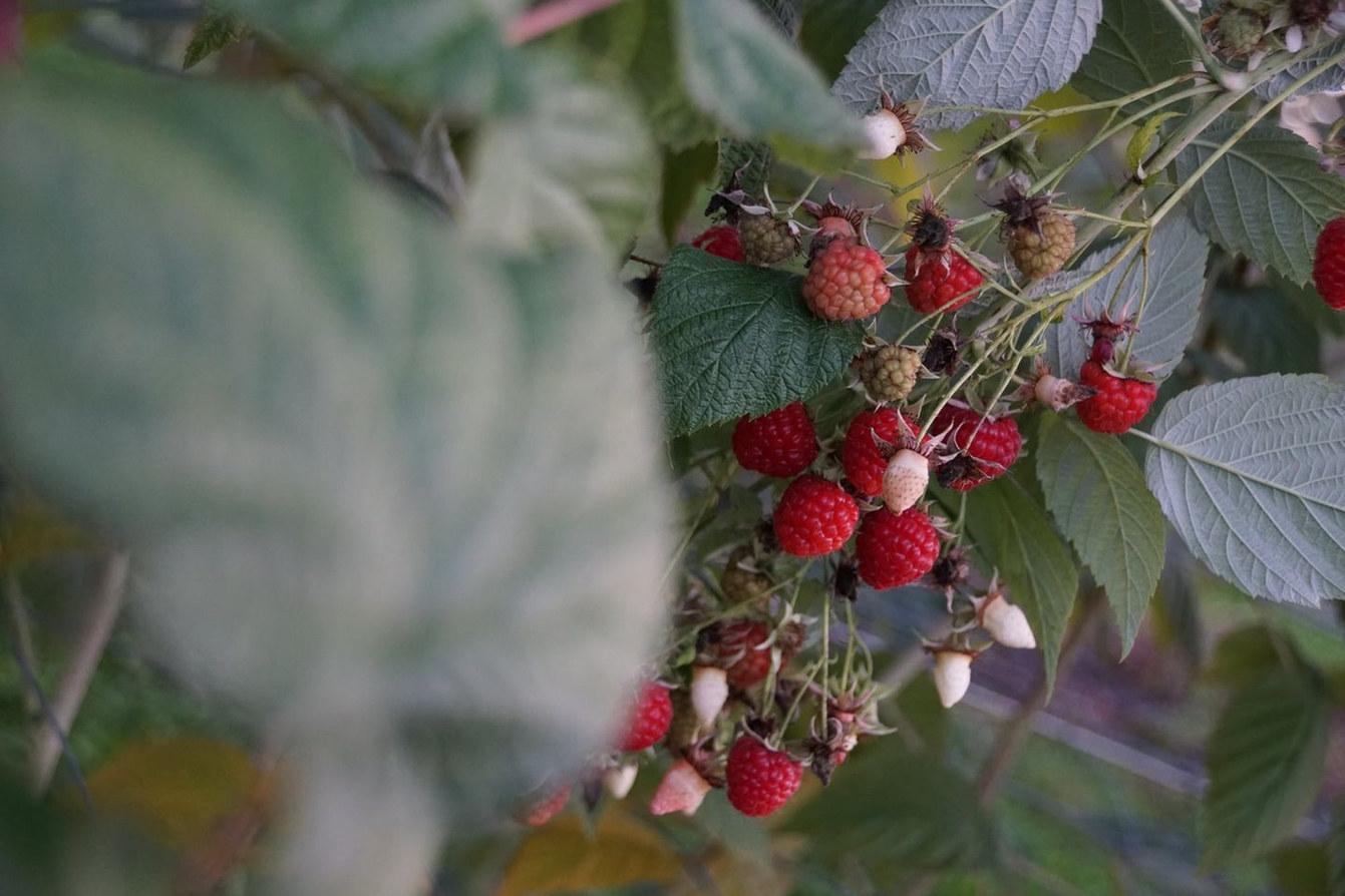 Bio-Beeren aus der Brach