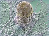 Stem cell image