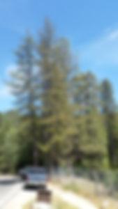 Black Pine Leaf Scale BPLS