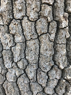 GSOB Gold Spotted Oak Borer