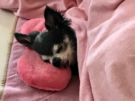 人のように寝る犬。