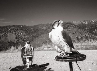 Parahawking training session