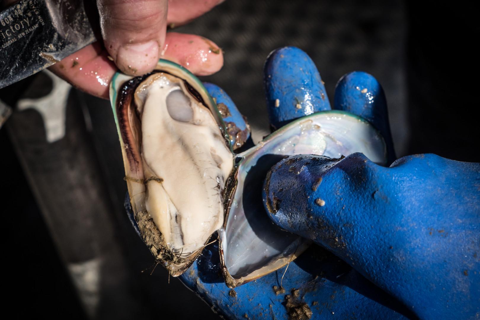 Shucking Mussels