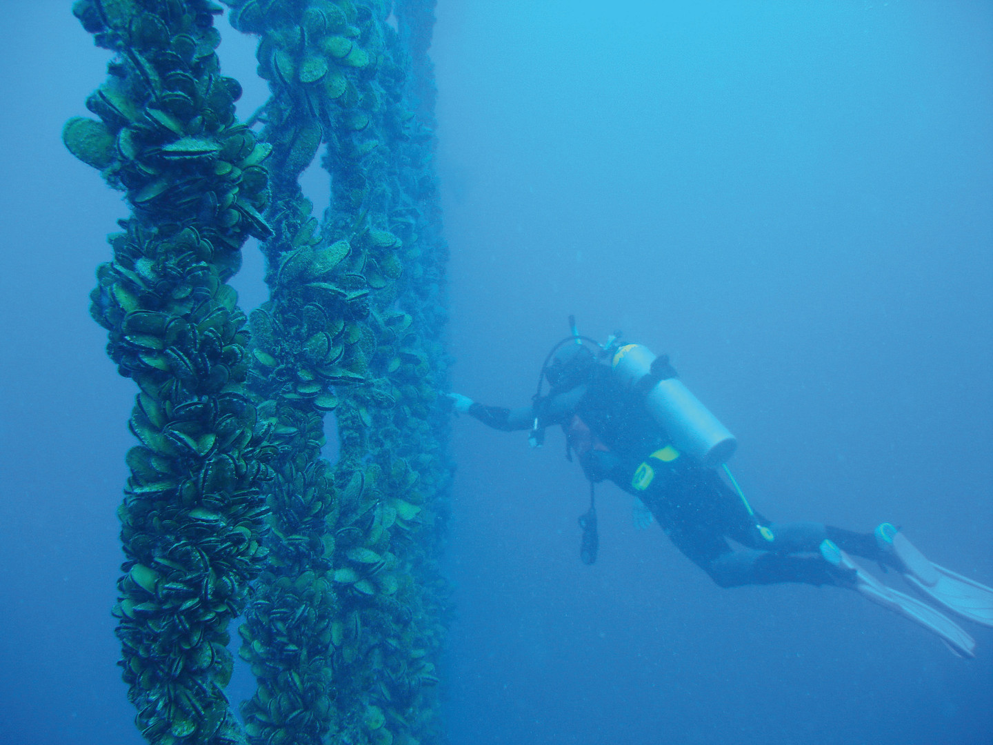 Cawthron diver mussels large file.jpg