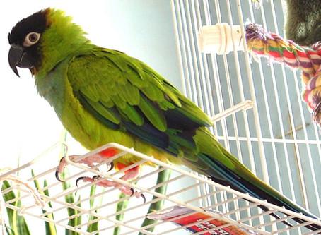 Should I Get A Pet Parrot?