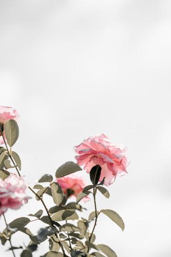 Rosen hydrolat