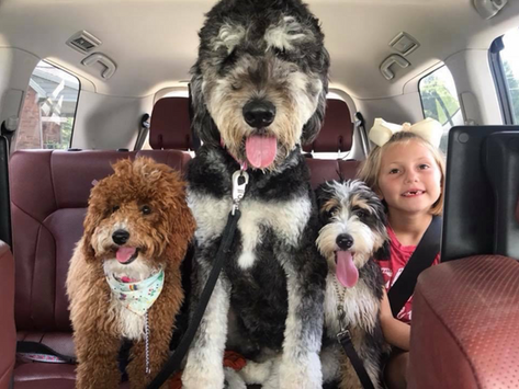Temperament, coat, size, color... Everything you need to know about Bernedoodles