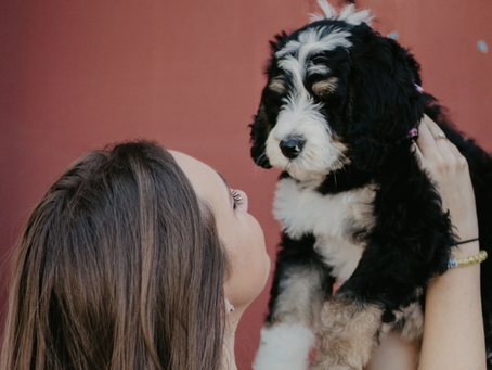 Why Choose a Bernedoodle?