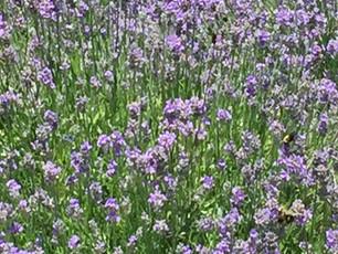 Lavender production in Hocking Hills
