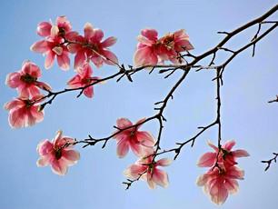 Magnolia in bloom.  Spring is here!