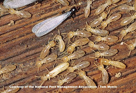 44-Termite-E-Subterranean-Termite-.jpg