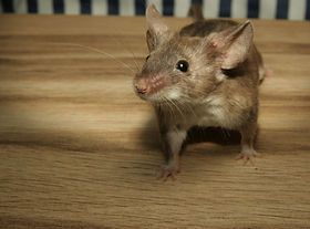 mouse_color_mouse_wood_cute_sweet_small_kulleraugen_button_eyes-1385676.jpg!d.jpg