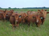 Cows, pasture